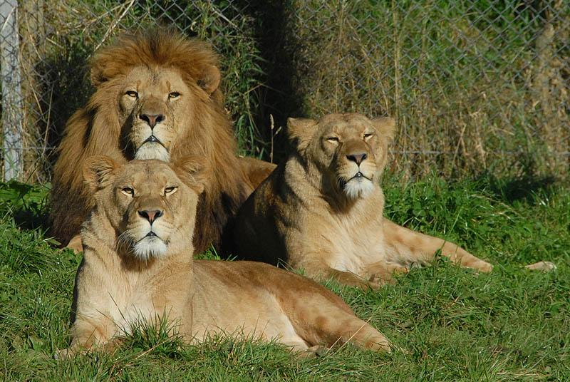 cumbria-lions